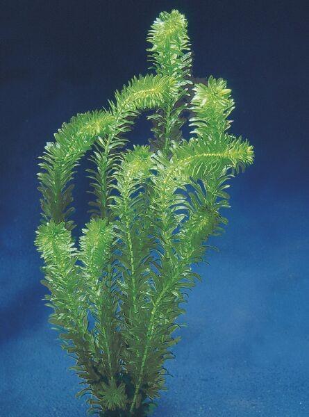 L 39 egeria densa for L arbre qui pousse le plus vite