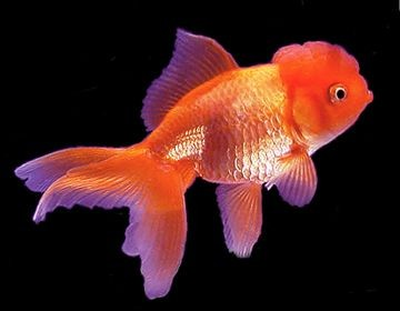 poisson rouge poisson rouge malade aquarium poisson rouge. Black Bedroom Furniture Sets. Home Design Ideas
